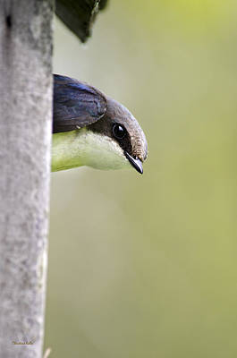 Swallow Photograph - Tree Swallow Closeup by Christina Rollo