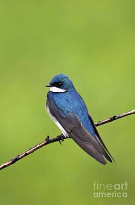 Tree Swallow Photograph - Tree Swallow II - D009009 by Daniel Dempster
