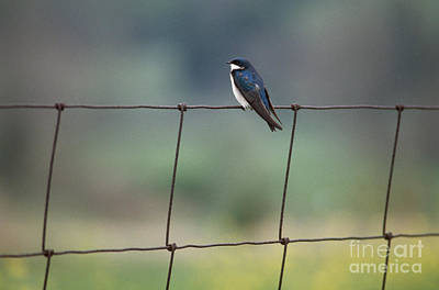 Swallow Photograph - Tree Swallow by James L. Amos