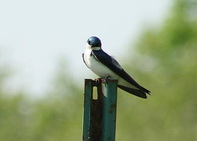 Swallow Photograph - Tree Swallow Wink by Neal  Eslinger