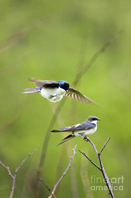 Tree Swallow Photograph - Tree Swallows - D008997 by Daniel Dempster