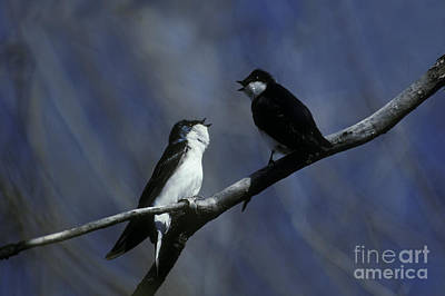 Swallow Photograph - Tree Swallows by Ron Sanford