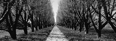 In A Row Photograph - Trees Along A Walkway In A Botanical by Panoramic Images