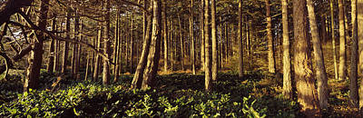 Trees And Salals In A Forest At Sunset Print by Panoramic Images
