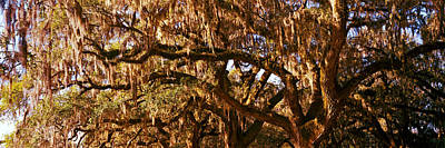 Trees Covered With Spanish Moss, Boone Print by Panoramic Images