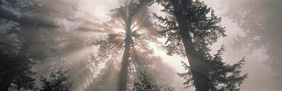 Radiates Photograph - Trees Redwood National Park by Panoramic Images