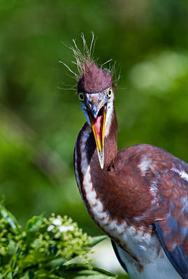 Tricolored Heron In Awe Print by Andres Leon