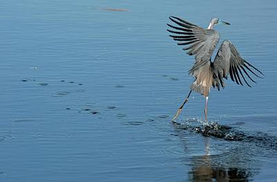 Tricolored Heron Landing On Water Print by Bob Gibbons