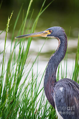 Tricolored Heron Print by Robert Frederick