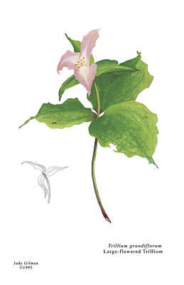 English Gouache Painting - Trillium by Judy Gilman