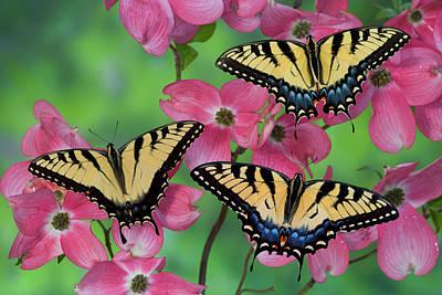 Trio Of Eastern Tiger Swallowtail Print by Darrell Gulin