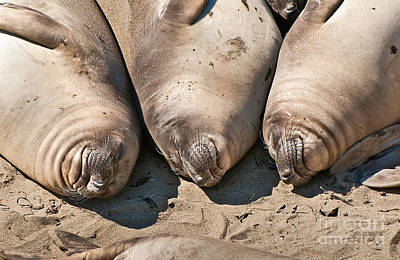 Trio Of Sleeping Northern Elephant Seals Mirounga Angustirostris At The Piedras Blancas Beach Print by Jamie Pham
