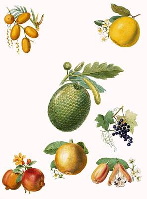Fruits Drawing - Tropical Fruit by English School