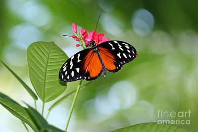 Tropical Hecale Butterfly Print by Karen Adams