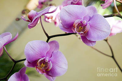 Photograph - Tropical Radiant Orchid Flowers by Andee Design