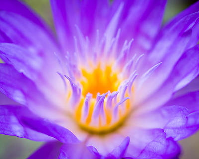 Purple Photograph - Tropical Waterlily Glow by Priya Ghose