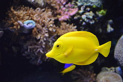 Tropical Yellow Fish Print by Anthony Smith