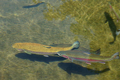 Wild Trout Photograph - Trout Art Prints Wild Game Sports Fishing by Baslee Troutman