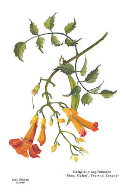 English Gouache Painting - Trumpet Creeper by Judy Gilman