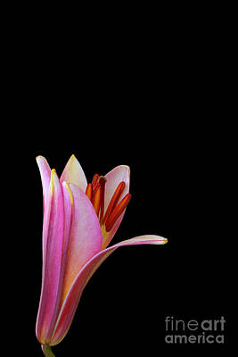 Nature Photograph - Trumpet Lily by Judy Whitton