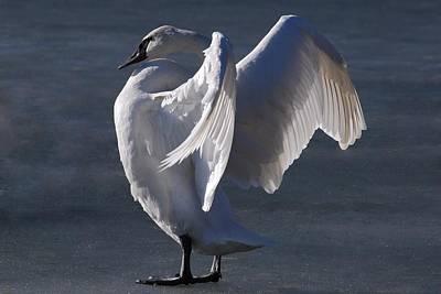Joy Dinardo Bradley Dinardo Designs Photograph - Trumpeter Swan - Zeus by Joy Bradley