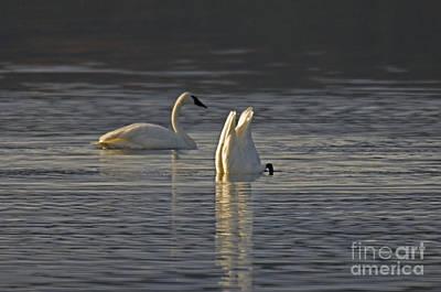 Trumpeter Swans Print by Ron Sanford