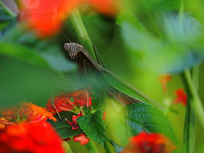 Trying To Hide Praying Mantis Print by Raymond Salani III