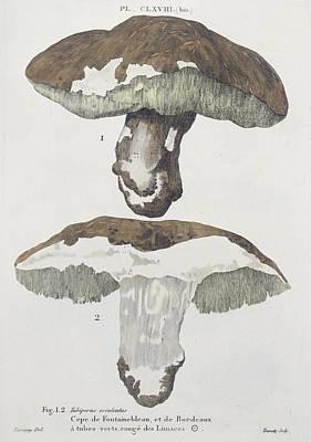 Jacques Drawing - Tubiporus Esculentus by De Lussigny