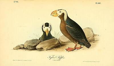 Puffin Drawing - Tufted Puffins by Philip Ralley
