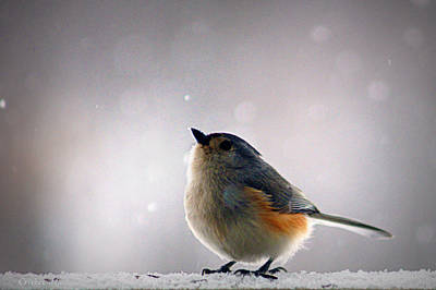 Titmouse Photograph - Tufted Titmouse by Cricket Hackmann