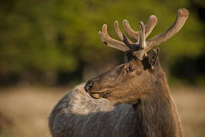Roaming Elk Photograph - Tule Elk by Joel Moranton