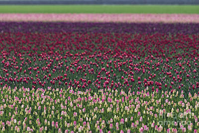 Skagit Photograph - Tulip Abstract by Mark Kiver