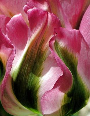 Photograph - Tulip by  Andrea Lazar