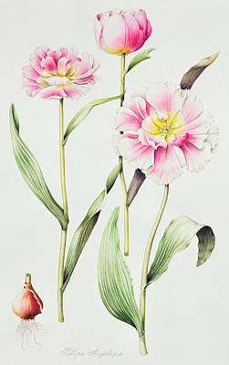 Tulip Angelique  Print by Sally Crosthwaite