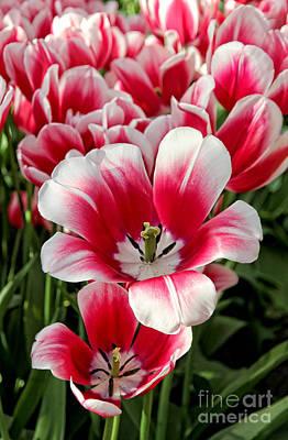 White Tulip Photograph - Tulip Annemarie by Jasna Buncic