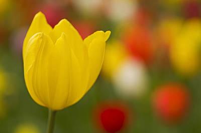 Tulip Bokeh Print by Nick  Boren