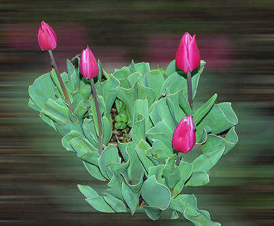 Tulips Photograph - Tulip Bouquet by Aimee L Maher Photography and Art Visit ALMGallerydotcom