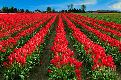 Spring Bulbs Photograph - Tulip Cornucopia by Inge Johnsson