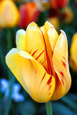 Photograph - Tulip by Dan  Dickerson