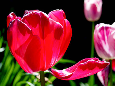 Tulips Photograph - Tulip Extended by Rona Black