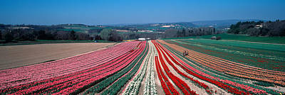 Provence Photograph - Tulip Farm, Provence-alpes-cote Dazur by Panoramic Images