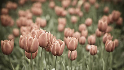 Spring Bulbs Photograph - Tulip Field by Frank Tschakert