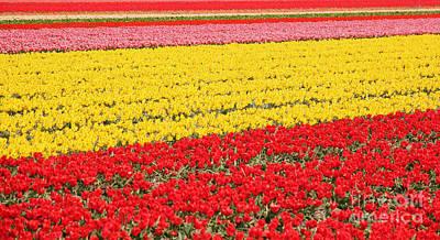 Spring Bulbs Photograph - Tulip Fields 1 by Jasna Buncic