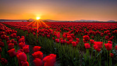 Tulip Fields Print by Alexis Birkill
