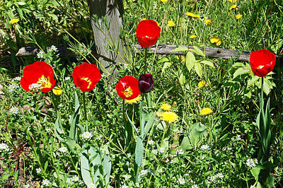 Yellow Photograph - Tulip Garden by Aimee L Maher Photography and Art Visit ALMGallerydotcom
