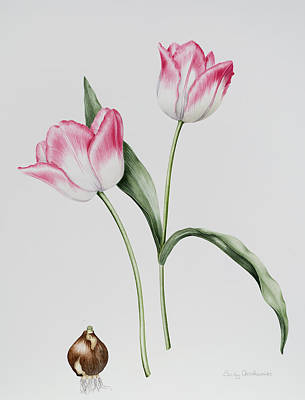 Spring Bulbs Painting - Tulip Meissner Porcellan With Bulb  by Sally Crosthwaite