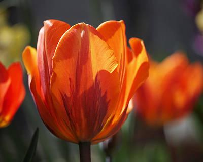 Tulip Prinses Irene Print by Rona Black
