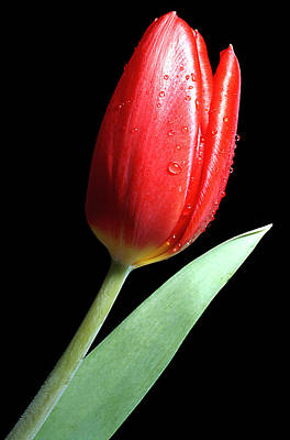 Tulip Red Print by Carl Perkins