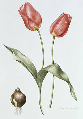 Spring Bulbs Painting - Tulip Red Darwin by Sally Crosthwaite