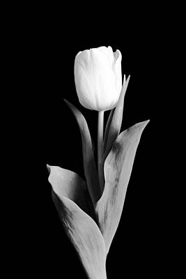 Flower Fine Art Photograph - Tulip by Sebastian Musial